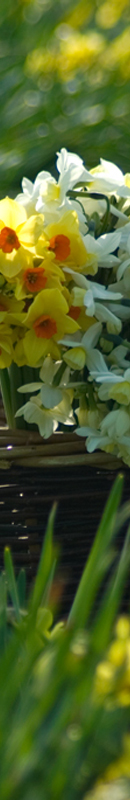 Michelle Garrett Photographer - Sidebar Image - Peoples Passion Scented Narcissi